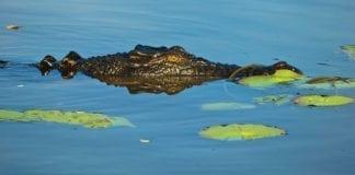 Crocodile in Kakadu National Park