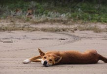 Why do dingos attack people on Fraser Island?