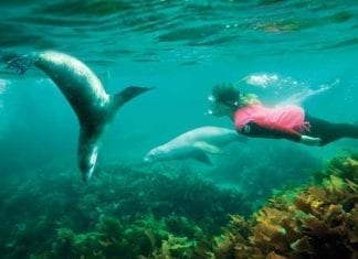 swimming with sea lions port lincoln