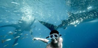 Swim With Whale Sharks At Ningaloo Reef Between March to August Each Year.