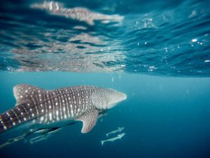Whale Shark Tours Exmouth